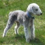 Bedlington Terrier Profile Picture