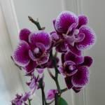 Orchideane Profile Picture